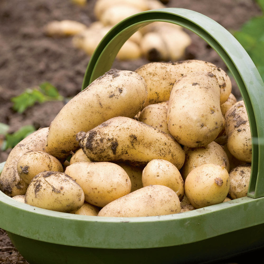 how to make seed potatoes for planting