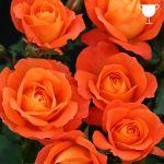 Super Trouper - Vibrant Orange