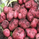 Taylors Bulbs Potato Red Duke Of York - 9 Pack