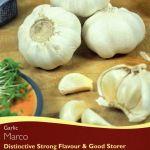 Garlic Marco