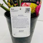 Loving Memory Potted Rose - 5.5 Litre Pot