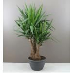 XL Yucca Branched Shrub