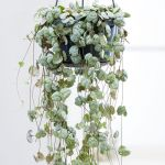 String of Hearts - Ceropegia Woodii