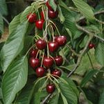 Dubbele Meikers Cherry Tree