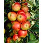 Elstar Apple Tree