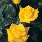 Golden Wedding Rose - Golden Yellow