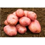 Sarpo Mira Seed Potatoes