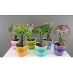 Quirky cactus gift - Euphorbia Lactea