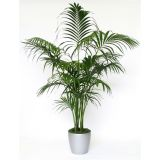 Exotic Kentia indoor palm - Howea forsteriana- 95 -110cm