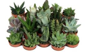 Mini Succulent Mix - Plug Plants