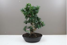 Ficus Ginseng - Banyan Fig Bonsai in Ceramic Planter