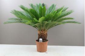 Cycas Palm - Japanese Sago Large