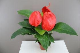 Flamingo Flower - Anthurium Scherzianum 'Lindsey'