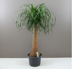 Giant Ponytail Palm- Elegant Easy care Plant