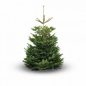 Real Nordmanniana Christmas Trees