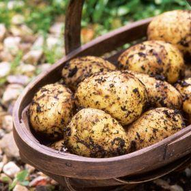 Taylors Maris Peer Seed Potato