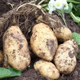 Taylors Duke Of York Seed Potato