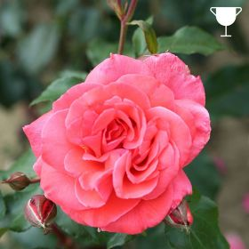Happy Anniversary- Salm Pink