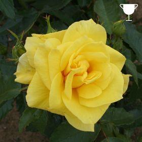 Korresia - Bright Yellow