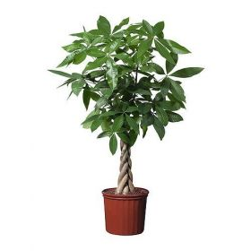 Beautiful Braided Money Tree- Pachira Height 100cm and Pot Size 19cm