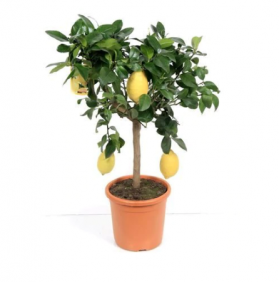 Beautiful Large Lemon tree With Many Lemons on it. Ideal Gift.