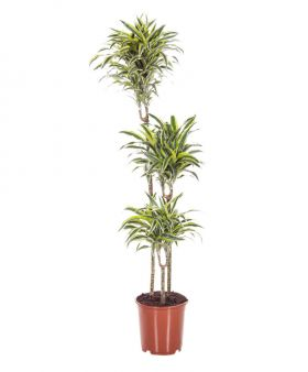XL 3 in 1 Dracaena White Stripe