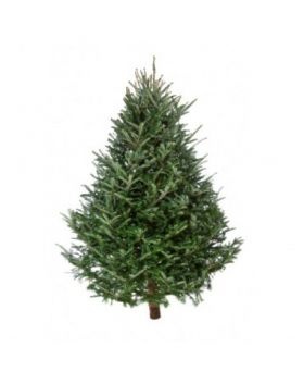 Traditional Spruce Christmas Trees