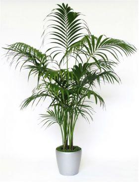Exotic Kentia indoor palm - Howea forsteriana- 95 -110cm