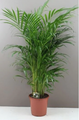 Butterfly Indoor Palm Tree - 140cm Areca Lutescens
